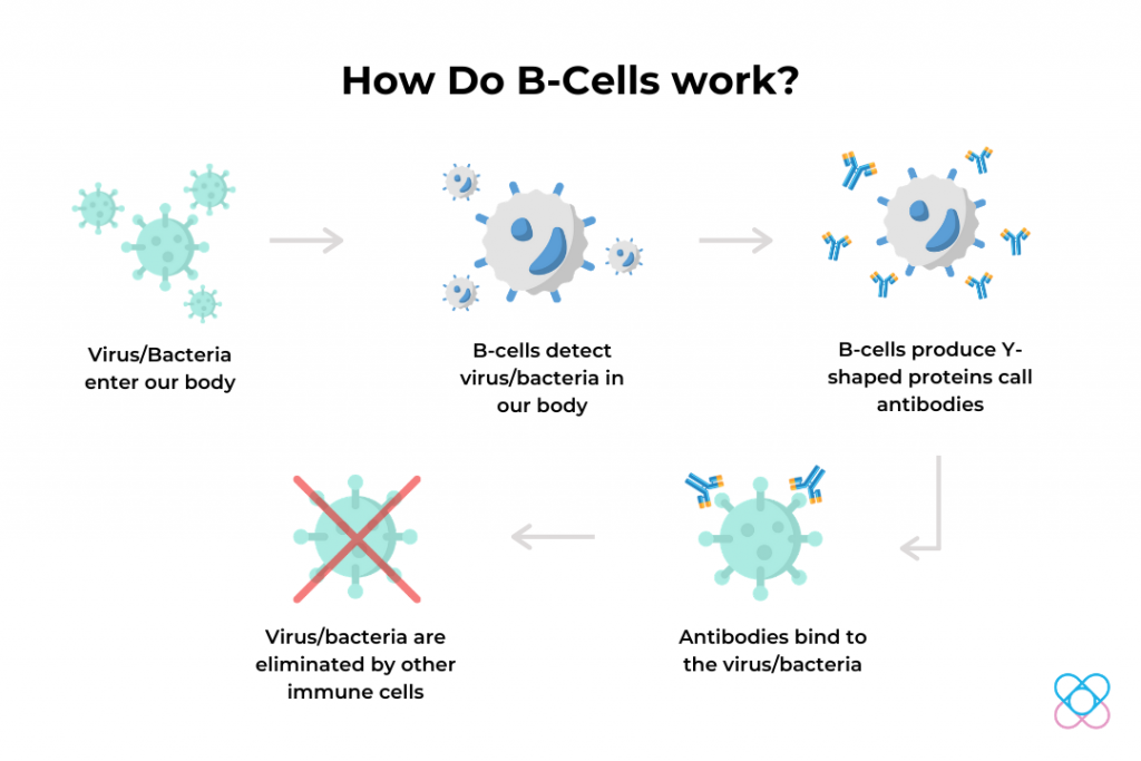 How B-Cells Work
