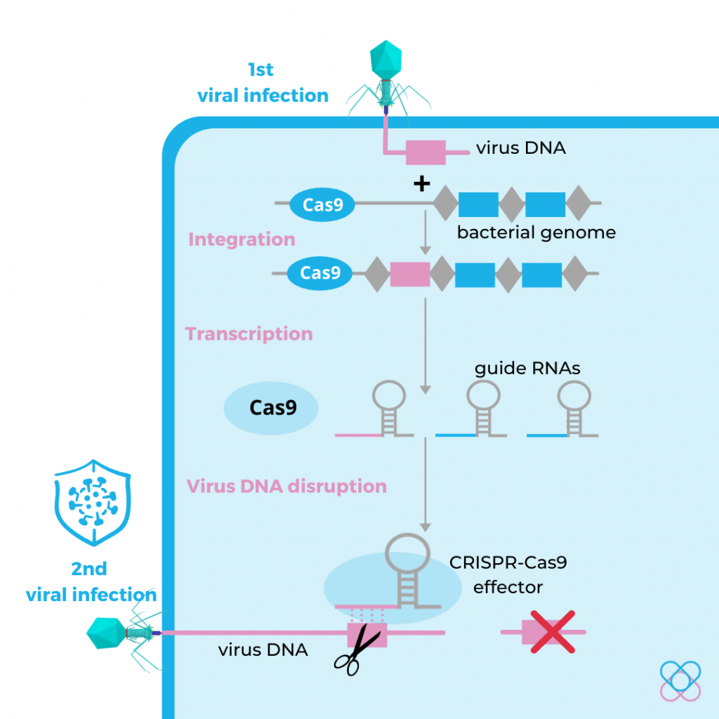 Origin of the CRISPR-Cas9 system